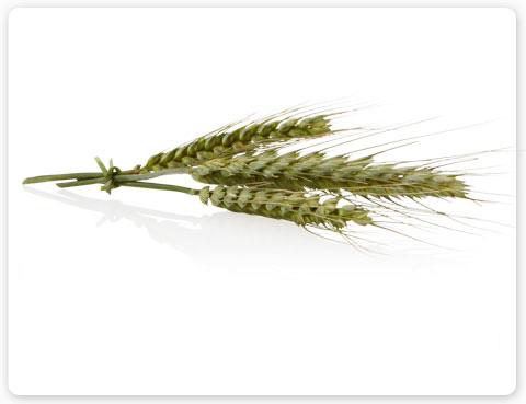 Tarweproteïne: ingrediënt Aveda